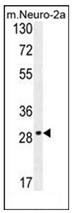 AP53114PU-N - Olfactory receptor 9Q1