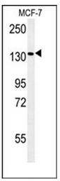 AP53258PU-N - Peroxin 1 / PEX1