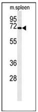 AP53276PU-N - PHACTR4
