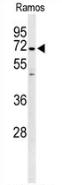 AP53291PU-N - PPP1R18 / Phostensin