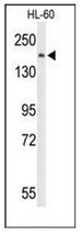 AP53333PU-N - PLCB1