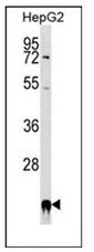 AP53411PU-N - Cyclophilin F
