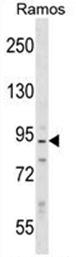 AP53419PU-N - Neurabin-2