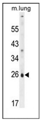 AP53427PU-N - PQLC1