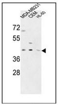 AP53428PU-N - PRPF38A