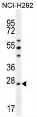 AP53439PU-N - Peroxiredoxin-4 / PRDX4