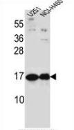 AP53507PU-N - Pleiotrophin / PTN