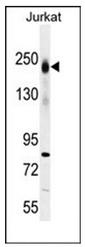 AP53512PU-N - CD45 / LCA