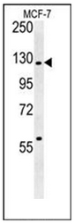 AP53552PU-N - RABGAP1