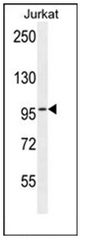 AP53602PU-N - RBL2 / p130