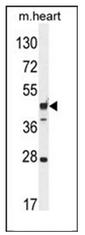 AP53667PU-N - RILPL1