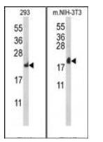 AP53710PU-N - RPL18A