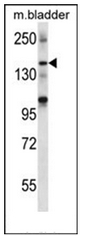 AP53906PU-N - SHANK2