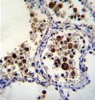 AP53916PU-N - SIGLEC15 / CD33L3