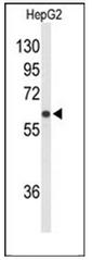 AP53929PU-N - SLCO1B1 / OATP2