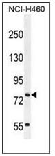 AP53931PU-N - SLCO4C1 / OATP4C1