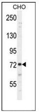 AP53983PU-N - SORBS1 / Ponsin