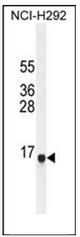 AP53998PU-N - Sperm antigen HE2
