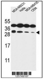 AP54085PU-N - Syntaxin 10 / STX10