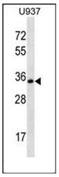 AP54086PU-N - Syntaxin 12 / STX12