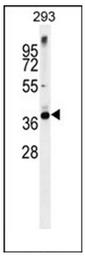 AP54087PU-N - Syntaxin 16 / STX16