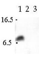 AP54838PU-N - VAMP-3 / Synaptobrevin-3