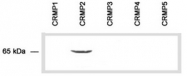 AP54858SU-N - DPYSL2 / CRMP2
