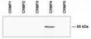 AP54860PU-N - DPYSL3 / CRMP4