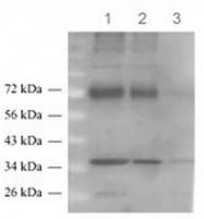 AP54926SU-N - SLC1A2 / EAAT2