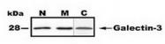 AP54961PU-N - Galectin-3