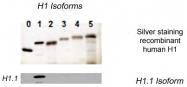 AP54997SU-N - Histone H1.1