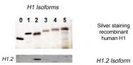 AP54998SU-N - Histone H1.2
