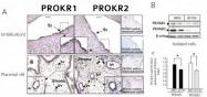AP55202PU-N - GPR73 / Prokineticin receptor 1