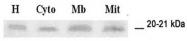 AP55263SU-N - Glutathione peroxidase 4 / GPX4