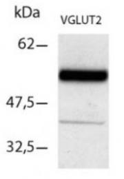 AP55382PU-N - SLC17A6 / VGLUT2