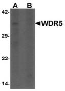 AP55430CP-N - WDR5 / BIG3