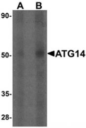 AP55472PU-N - ATG14 / Barkor