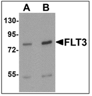AP55479PU-N - CD135 / FLT3