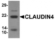 AP55480PU-N - Claudin-4 / CLDN4