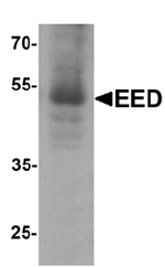 AP55487PU-N - Polycomb protein EED