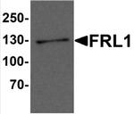 AP55523PU-N - Formin-like protein 1