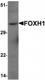 AP55525PU-N - FOXH1 / FAST1