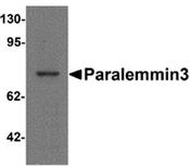 AP55543PU-N - Paralemmin-3