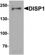 AP55583PU-N - DISP1 / DISPA