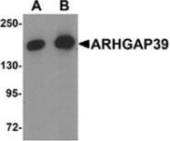 AP55587PU-N - ARHGAP39
