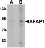 AP55595PU-N - AFAP1