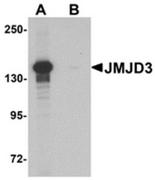 AP55610CP-N - JMJD3 / KDM6B