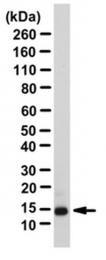 AP55979PU-N - Angiogenin