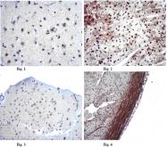 AP55997PU-N - Mitofusin-2