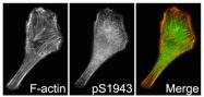 AP56037PU-N - Myosin-9 / MYH9